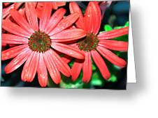 Salmon Daisy Greeting Card by Aimee L Maher Photography and Art