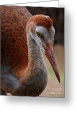 Sandhill Baby Face Greeting Card by Carol Groenen