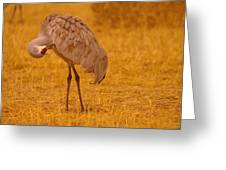 Sandhill Crane Preening Itself Greeting Card by Jeff  Swan