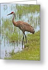 Sandhill In The Marsh Greeting Card by Carol Groenen