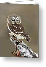 Saw Whet Owl Sleeping In A Winter Forest Greeting Card by Inspired Nature Photography By Shelley Myke