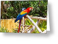 Scarlet Macaw Greeting Card by John Bailey