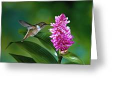 Scintillant Hummingbird Selasphorus Greeting Card by Michael and Patricia Fogden