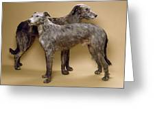 Scottish Deerhounds, Stuffed Specimens Greeting Card by Science Photo Library
