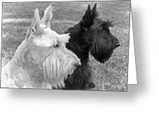Scottish Terrier Dogs Black And White Greeting Card by Jennie Marie Schell