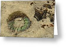 Sea Anenome Half Buried In The Sand Greeting Card by Artist and Photographer Laura Wrede