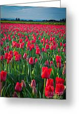 Sea Of Red Tulips Greeting Card by Inge Johnsson