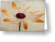 Senetti Pericallis Orange Tip Greeting Card by John Edwards