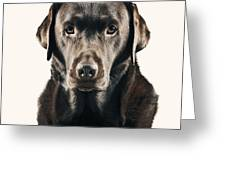 Serious Chocolate Labrador Greeting Card by Justin Paget