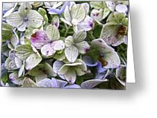 Shabby Hydrangea Greeting Card by Rose  Fleming