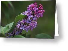 Shades Of Lilac  Greeting Card by Rona Black