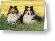 Shetland Sheepdogs Greeting Card by Rolf Kopfle