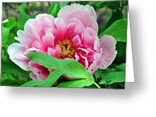 Shy Peony Greeting Card by Gail Butler