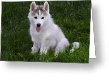Siberian Huskie Pup Greeting Card by Bill Cannon