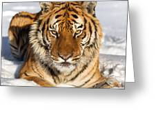 Siberian Tiger Face To Face Greeting Card by Jerry Fornarotto