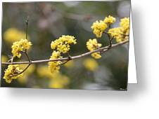 Silver Wattle In Spring Greeting Card by Maria Urso