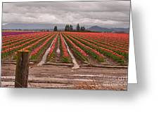 Skagit Valley Tulip Farmlands In Spring Storm Greeting Card by Valerie Garner