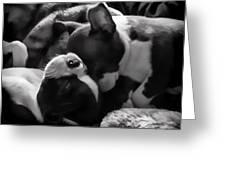 Sleeping Beauties - Boston Terriers Greeting Card by Jordan Blackstone