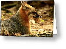 Sly Rare Grey Fox Greeting Card by Inspired Nature Photography By Shelley Myke