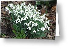 Snow Drops Greeting Card by John Williams