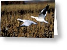 Snow Geese Greeting Card by Steven Ralser
