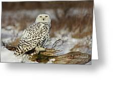 Snowy Owl At Sunset Greeting Card by Inspired Nature Photography By Shelley Myke