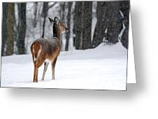 Snowy White-tail Greeting Card by Christina Rollo