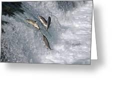 Sockeye Salmon Oncorhynchus Nerka Greeting Card by Matthias Breiter