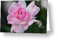 Soft Pink Miniature Rose Greeting Card by Rona Black