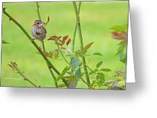 Song Sparrow Greeting Card by Rima Biswas