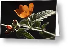 Sphaeralcea Ambigua Greeting Card by Joe Schofield