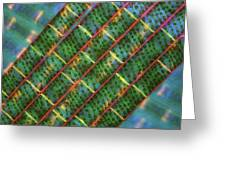 Spirogyra Algae, Light Micrograph Greeting Card by Science Photo Library