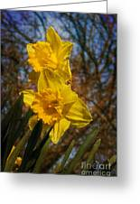 Spring Daffodils  Greeting Card by Brian Roscorla