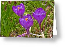 Spring Has Sprung Crocus Flowers Greeting Card by Valerie Garner
