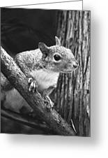 Squirrel Black And White Greeting Card by Sandi OReilly