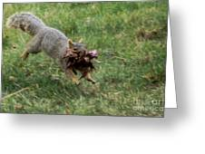 Squirrel Nest Bulding Greeting Card by Robert Bales