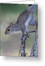Squirrel Pose Greeting Card by Deborah Benoit