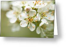 St Lucie Cherry Blossom Greeting Card by Anne Gilbert