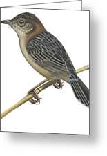 Stout Cisticola Greeting Card by Anonymous