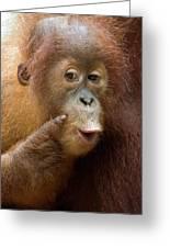 Sumatran Orangutan Baby Calling Greeting Card by Suzi Eszterhas