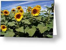 Sunflower Field Greeting Card by Kerri Mortenson