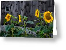 Sunflower Quartet Greeting Card by Bill  Wakeley