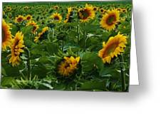 Sunflowers Galore Greeting Card by Bruce Bley