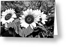 Sunflowers In Black And White Greeting Card by Kaye Menner