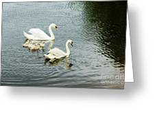 Swan Family Greeting Card by Jim  Calarese