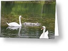 Swan Family Squared Greeting Card by Teresa Mucha
