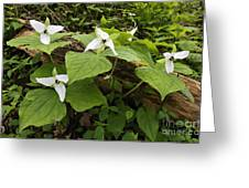 Sweet White Trillium - D003800 Greeting Card by Daniel Dempster