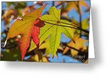Sweetgum Leaf Pair In Fall Finery Greeting Card by Anna Lisa Yoder