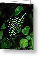 Tailed Jay Butterfly Greeting Card by Eva Kaufman