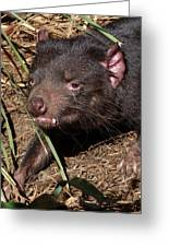 Tasmanian Devil Greeting Card by Margaret Saheed